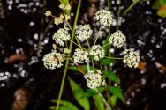 Stiff Cowbane (Oxypolis rigidior) Flower