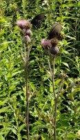Swamp Thistle (Cirsium muticum)