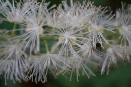 Mountain Bugbane; Late Black Cohosh (Actaea podocarpa) from 8/20/19