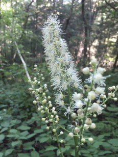 Mountain Bugbane; Late Black Cohosh (Actaea podocarpa) from 8/20/19