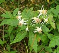 Whorled Wood Aster (Oclemena acuminata)
