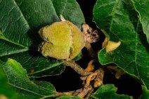Witch Hazel (Hamamelis virginiana) Fruit