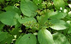 Wood Nettle (Laportea canadensis) Female Flowers