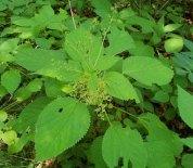 Wood Nettle (Laportea canadensis) Male Flowers