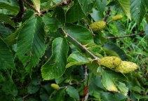 Yellow Birch (Betula alleghaniensis) Female Flower