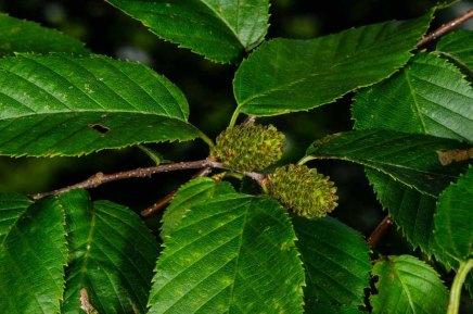 Yellow Birch (Betula alleghaniensis) Fruit