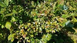 A Berry Filled Bush