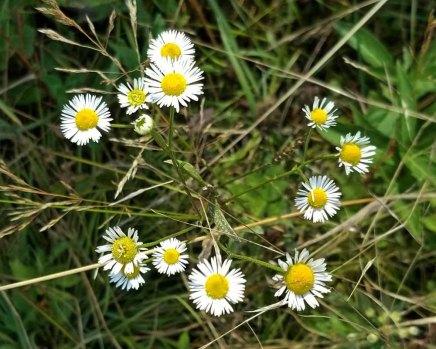 a Fleabane (Erigeron sp.)