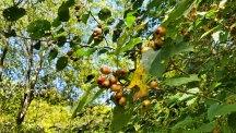 a Hawthorn (Crataegus sp.) Fruit