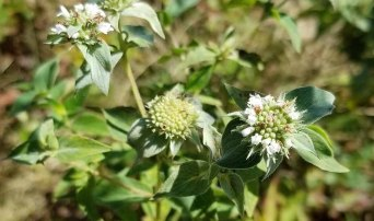 a Mint (Pycnanthemum sp.)