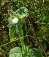 A White Wild Basil (Clinopodium vulgare)
