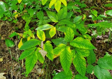 American Lovage (Ligusticum canadense) Leaves