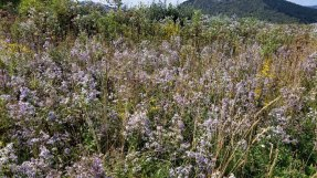 Asters, Asters Everywhere