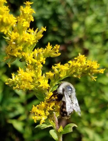 Bee on a Goldenrod