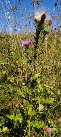 Bull Thistle (Cirsium vulgare)