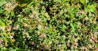 Calico Aster (Symphyotrichum lateriflorum)