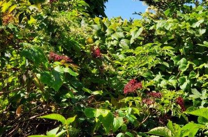 Elderberry (Sambucus nigra ssp. canadensis) Fruit