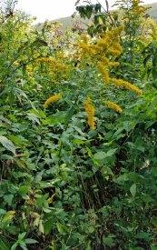 Elm-leaved Goldenrod (Solidago ulmifolia)