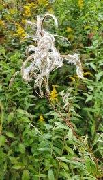 Fireweed (Chamerion angustifolium ssp. Circumvagum) Seeds