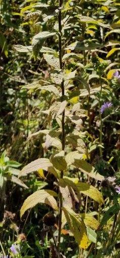 Gray Goldenrod (Solidago nemoralis) Leaves