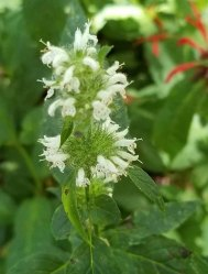 Hairy Wood Mint (Blephilia hirsuta)