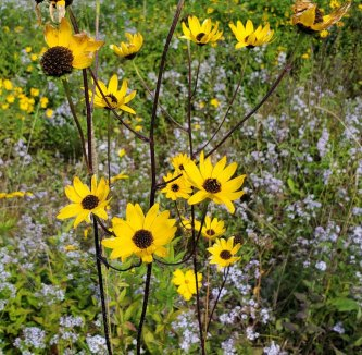 Hairy Wood Sunflower (Helianthus atrorubens)