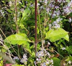 Hairy Wood Sunflower (Helianthus atrorubens) Stem & Leaves