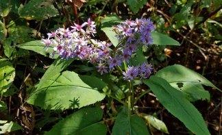 Heart-leaved Aster (Symphyotrichum cordifolium)