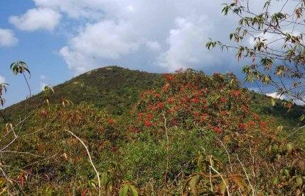 Impressive Mountain Ash (Sorbus americana) in Fruit