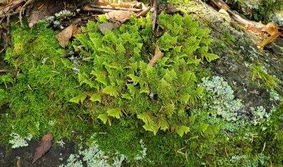 Knight's Plume Moss (Ptilium crista-castrensis)