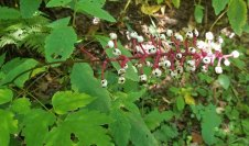 Lots of Doll's Eyes (Actaea pachypoda)