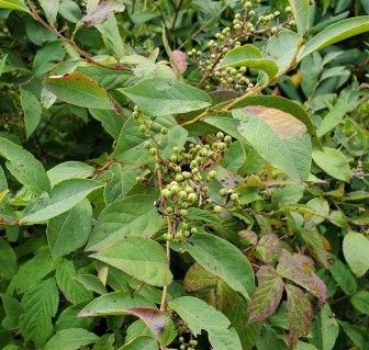 Maleberry (Lyonia ligustrina) in Fruit