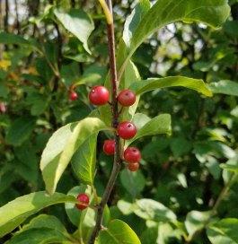 Mountain Holly (Ilex montana) in Fruit