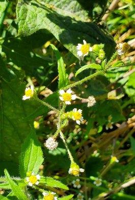 Peruvian Daisy; Quickweed (Galinsoga quadriradiata)