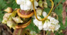 Possibly Appalachian Dodder; Beaked Dodder (Cuscuta rostrata)