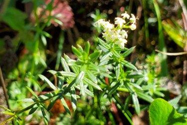 Possibly Wild Madder (Galium mollugo)