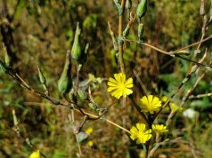 Possibly Willow-leaved Lettuce (Lactuca saligna)