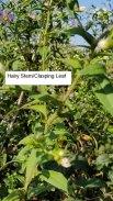 Purple-stemmed Aster (Symphyotrichum puniceum) Leaves