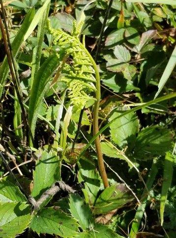 a Botrychium Fern, Fertile Frond