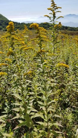 Rough-stemmed Goldenrod (Solidago rugosa)