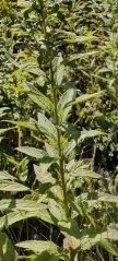 Rough-stemmed Goldenrod (Solidago rugosa) Leaves