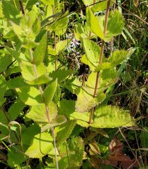 Roundleaved Thoroughwort (Eupatorium rotundifolium) Leaves