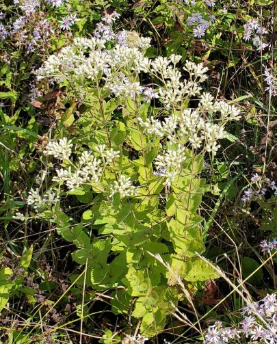Roundleaved Thoroughwort (Eupatorium rotundifolium)