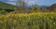 Sea of Goldenrods