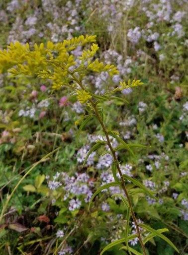 Slender-leaved Goldenrod (Euthamia graminifolia)