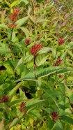Smooth Southern Bush Honeysuckle (Diervilla sessilifolia) in Fruit