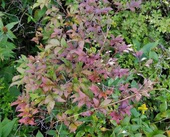 Southern Mountain Cranberry (Vaccinium erythrocarpum) in Fruit