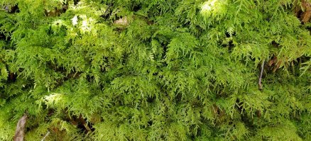 Splendid Feather Moss; Stair-step Moss (Hylocomium splendens)