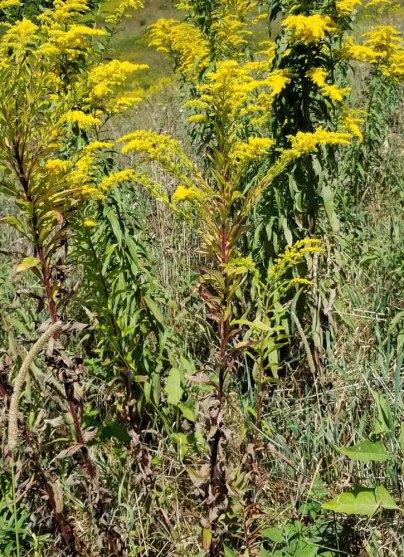Tall Goldenrod (Solidago altissima var. altissima)