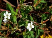 Thunberg's Geranium (Geranium thunbergii)